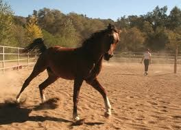 264xNxlunging_a_horse_loose_schooling