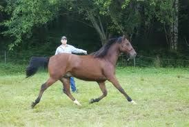 lunging_a_horse_rushing